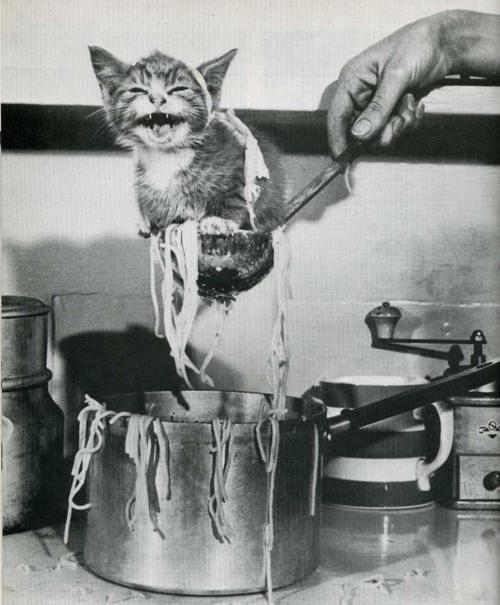 gato ovillo